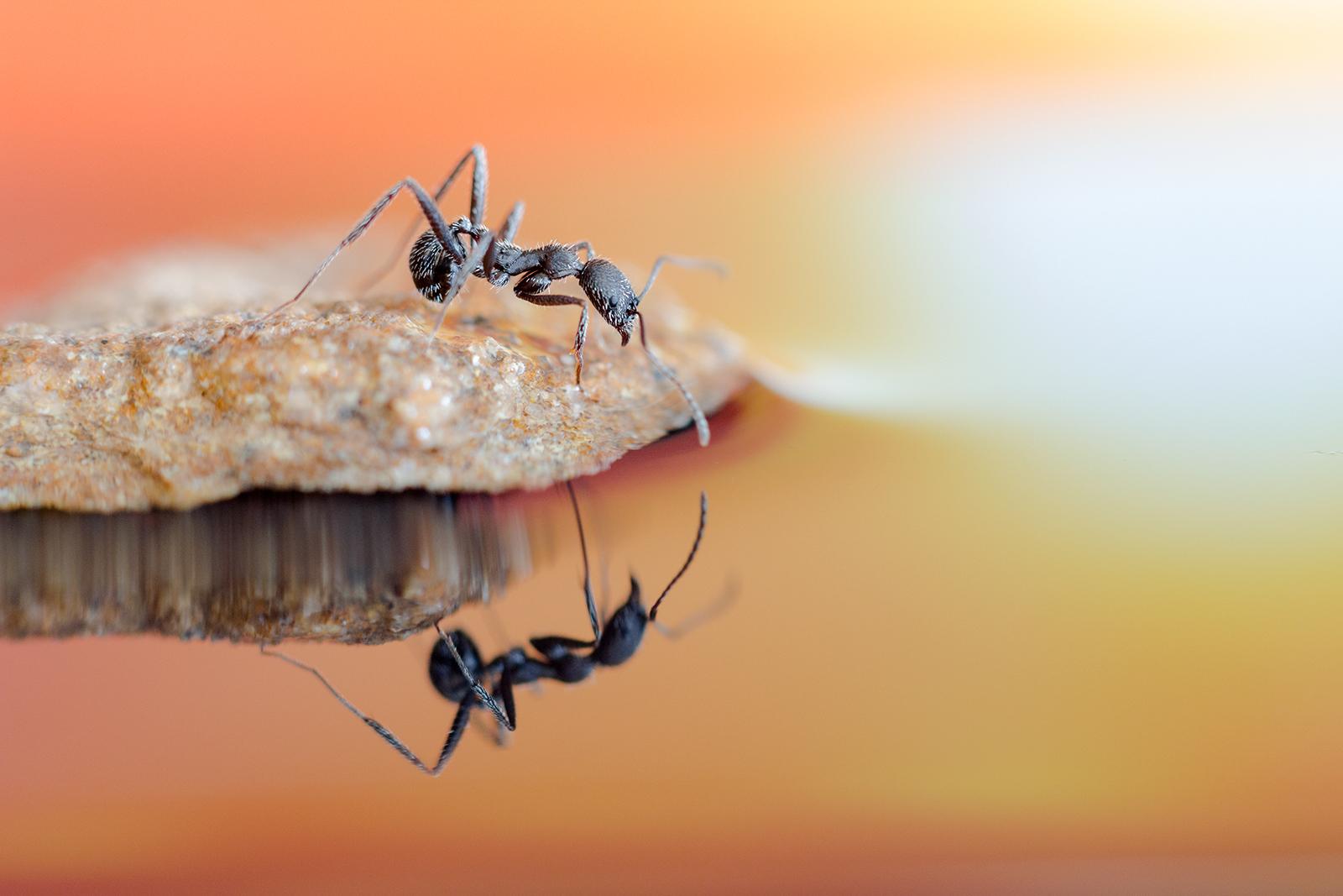 Foto macro de hormiga reflejada en agua, Canon, Tamron 90mm,Danilatorre,danilatorre, Dani Latorre, daniel Latorre